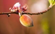 Fruct de piersic de 0,5 - 1cm diametru