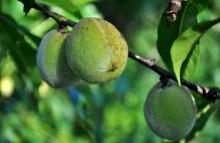 Fructe de piersic de 2,5 - 3cm diametru