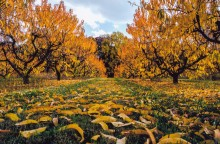 Piersici în ultima fază de cădere a frunzelor