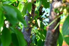 Fructe de cireș de 0,5 cm diametru