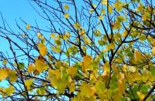 Piersic în faza de scuturare a frunzelor