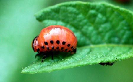 Gândacul de Colorado: larvă