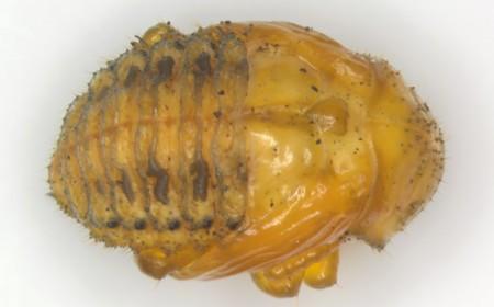 Gândacul de Colorado: pupă