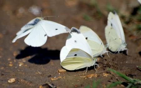 Fluturele alb al verzei