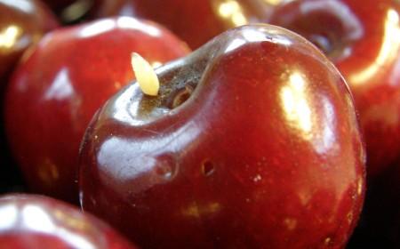 Larva muștei cireșelor, părăsind fructul atacat