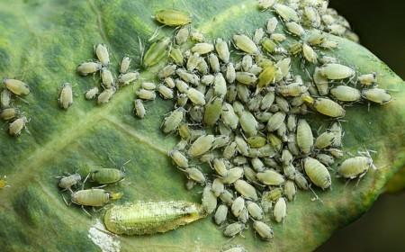 Aglomerare de larve