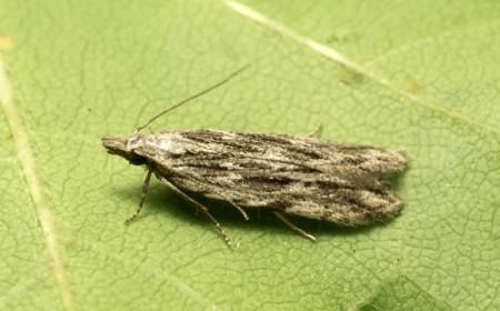 Molia vărgată a piersicului: adult
