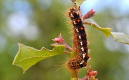 Omida fluturelui cu abdomen auriu