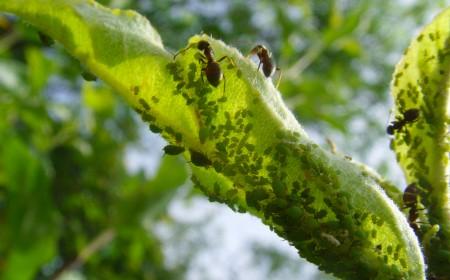 Larve de afide protejate de furnici