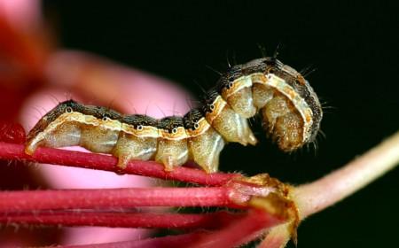 Larva omizii fructificațiilor