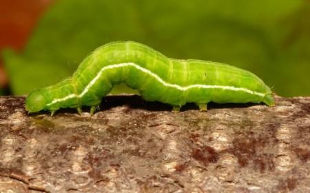 Plusia festuca, larvă (foto: wikipedia)