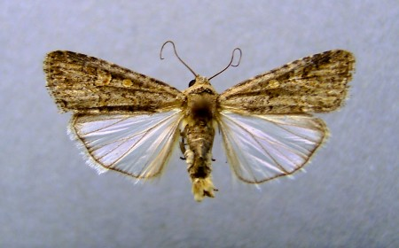 Fluturele omizii vărgate (foto: wikipedia)