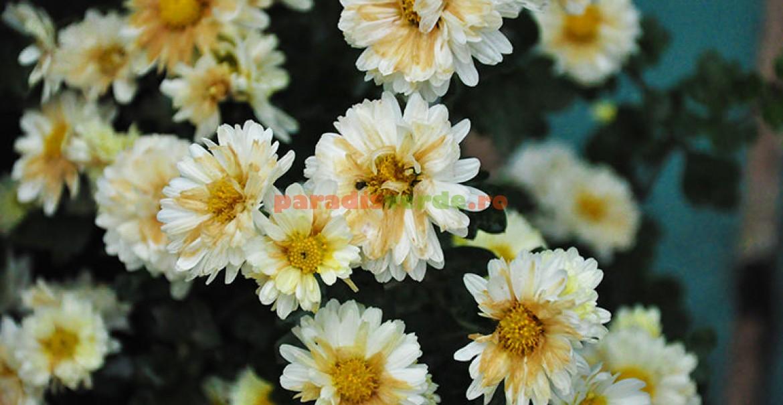 <p>Crizantemele, reginele toamnei</p>