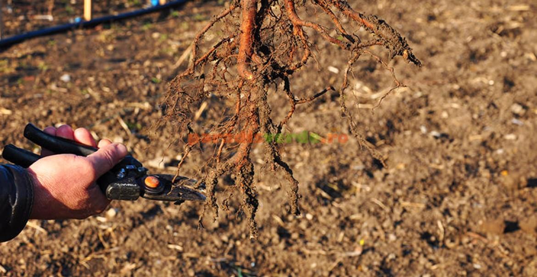 2. Fasonarea rădăcinilor