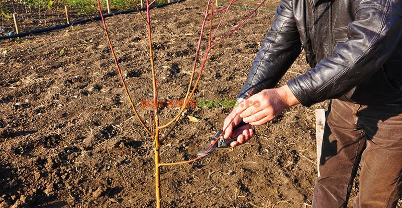 8. Fasonarea ramurilor (pomul din imagine este piersic)