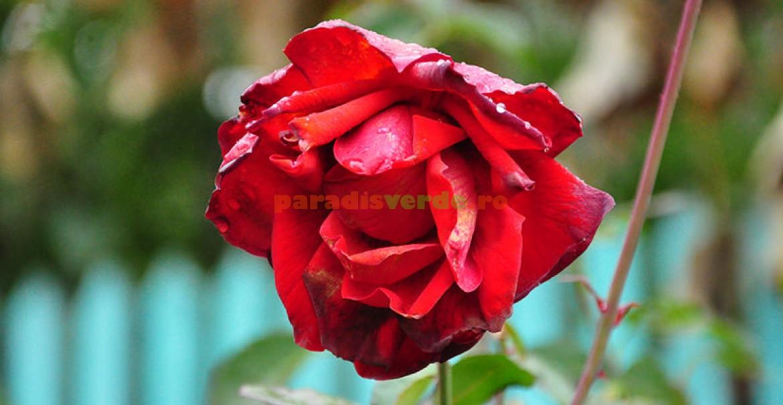 <p>O floare de Lilli Marleen, după o brumă groasă.</p>