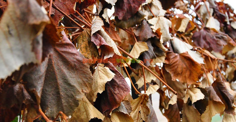 <p>Frumusețea frunzelor de viță-de-vie brumate.</p>