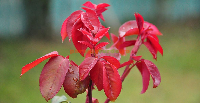 <p>Toamna, datorită scăderii intensității luminii, vegerația tinde să capete o culoare roșiatică, datorită pigmentului fucoxantină, care devine supranumerar, &icirc;n raport cu clorofila.</p>