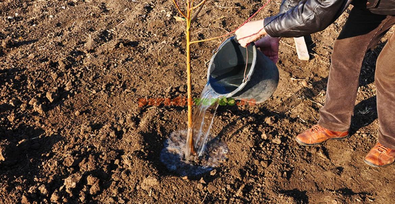 7. După plantare, udați cu generozitate.