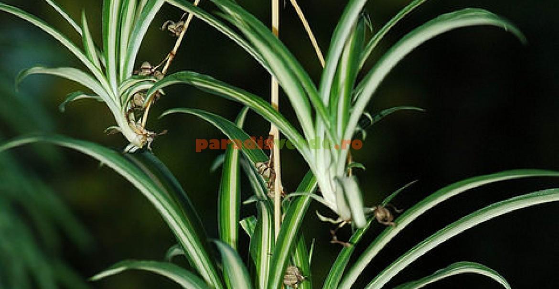 Chlorophytum sau Planta păianjen