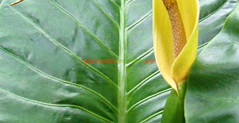 Floarea: spadicele este învelit într-o spată.
