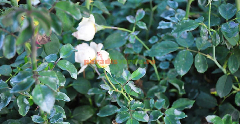 Frunze afectate de făinare