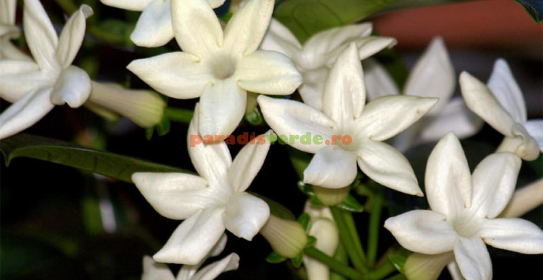 Iasomia de Madagascar (Stephanotis floribunda)