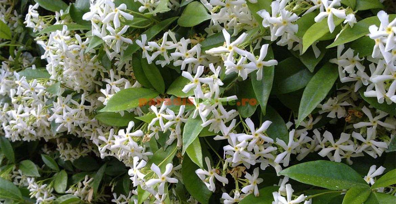 Iasomia (Jasminum officinalis)