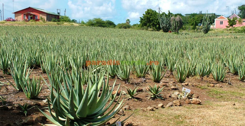 Plantaţie de Aloe vera