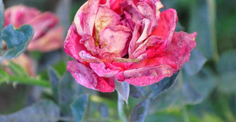Floare afectată de făinare