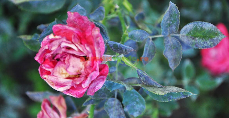 Floare și frunze afectate de făinare