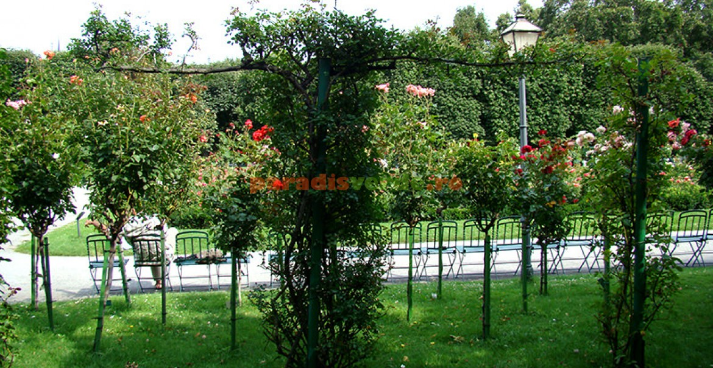 Trandafirii pomişor nu rezistă dacă sunt plantaţi în plin soare.