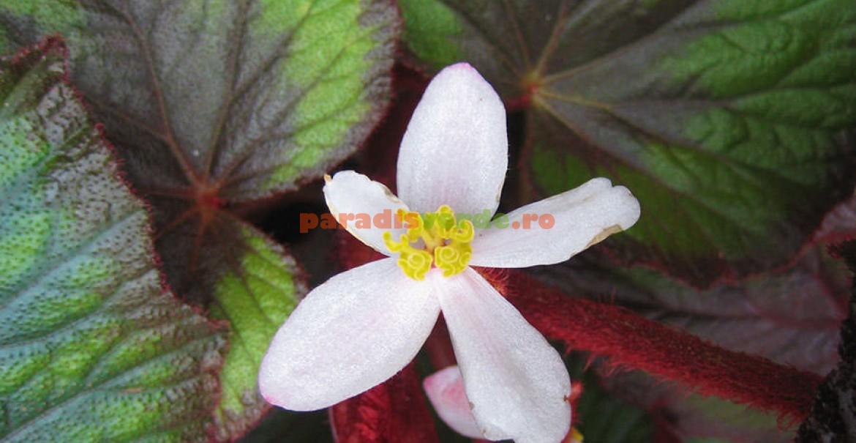 Begonia Bettina Rothschild, cu reflexe metalice