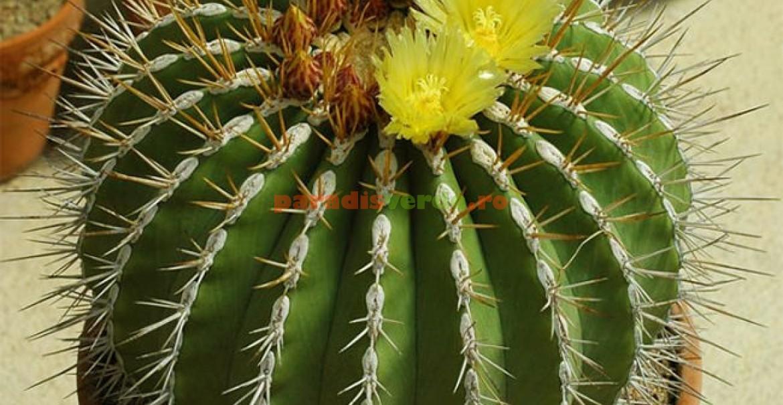 Un Ferocactus alamosanus inflorit