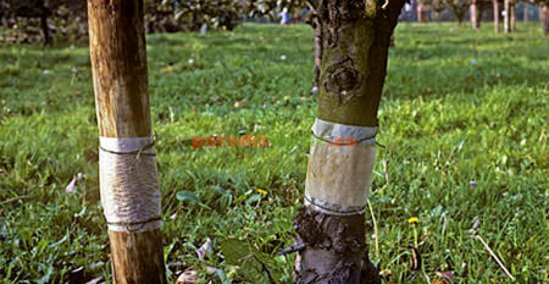 Benzi adezive ce împiedică migrarea femelelor cotar spre coroana pomilor.