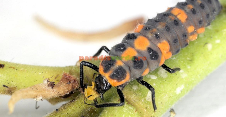 Larvă de buburuză, hrănindu-se cu larve de afide.