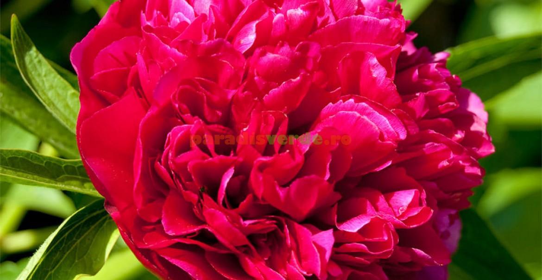 Floare de bujor roșu: ce frumusețe!