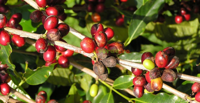 Fructe de cafea coapte