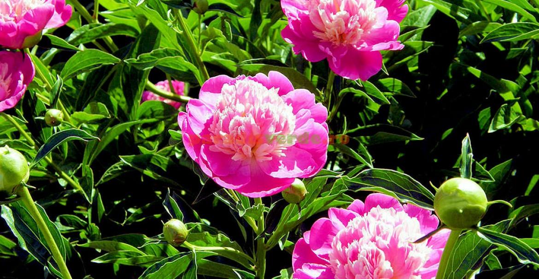 Bujori roz încântători!