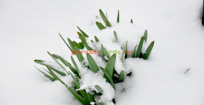 Narcisele nu se lasă impresionate de zăpezile târzii.