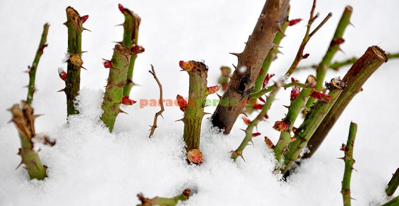 Chiar surprinşi de zăpadă cu mugurii porniţi în vegetaţie, trandafirii sunt puţin afectaţi.