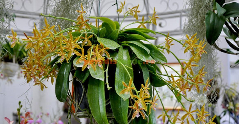 Phalaenopsis Hymen
