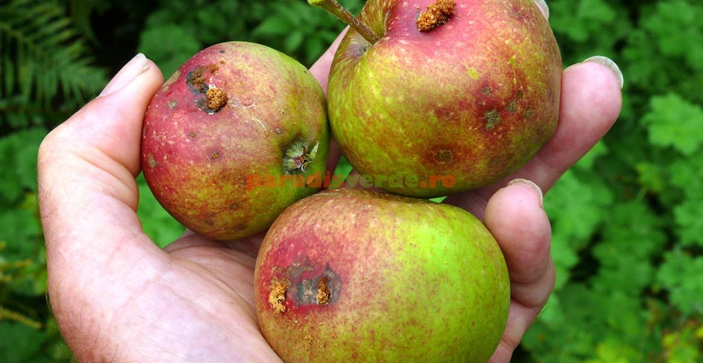 Fructe atacate de viermele mărului