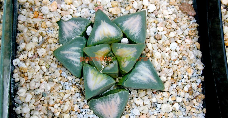 Haworthia mutica, frunze ciudate, prismatice.