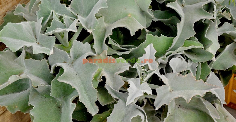 <p>Kalanchoe beharensis, cu frunze argintii şi catifelate.</p>