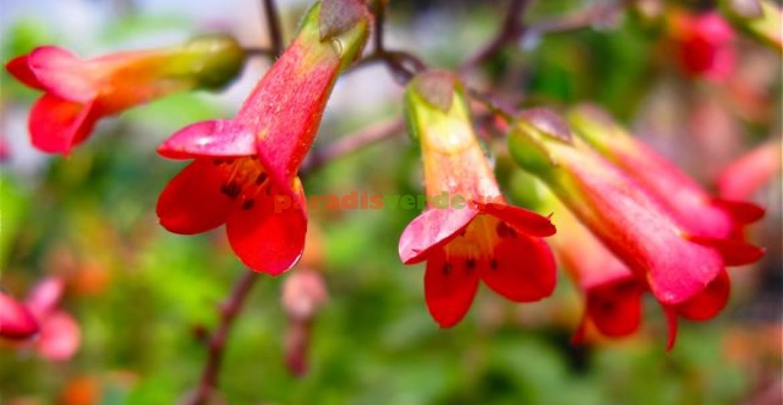<p>Kalanchoe Tessa, flori spectaculoase.</p>