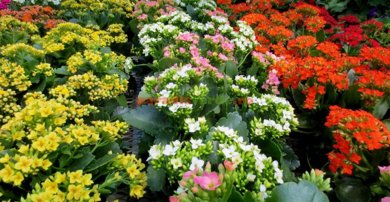 <p>Kalanchoe blossfeldiana, cea mai răsp&acirc;ndită.</p>