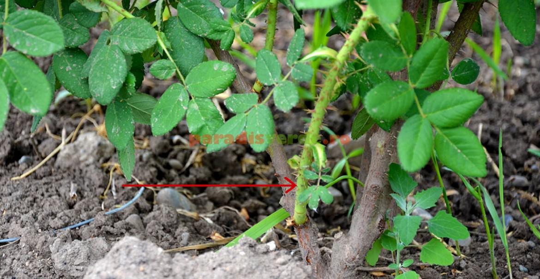 O ramură tânără apare întotdeuna deasupra altoiului sau dintr-o ramură secundară, spre deosebire de lăstarii sălbatici care apar întodeauna sub altoi sau din rădăcină.