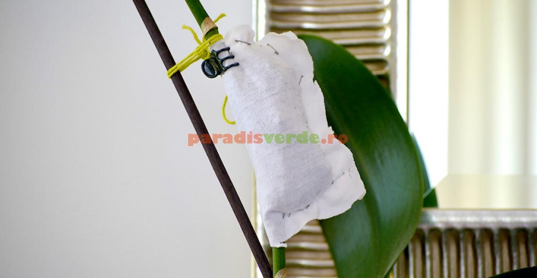Pentru a stimula apariţia de keiki, fixaţi un săculeţ cu turbă pe muguri de pe tija florală.
