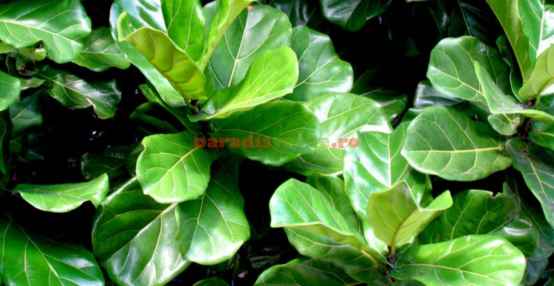 Maiestuoase frunze de ficus liră